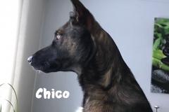 Wachhund-chico
