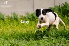 1_daisy_3