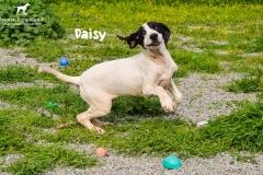 1_daisy_4