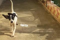 daisy_3