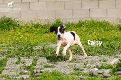 daisy_8