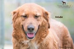 Goldie IMG_0159-960