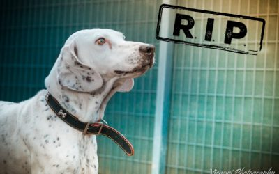 ♥ CELIA, Pointer-Mix, 6-7 years ♥