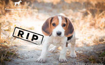 HARVEY, Beagle-Mix, 3 months