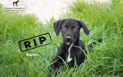 KAREN, Pointer-Terrier, born 04/2018