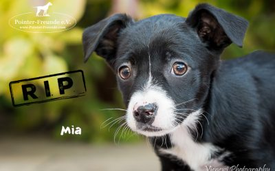 MIA, Labrador-Pudel-Mix, born 27.12.2016