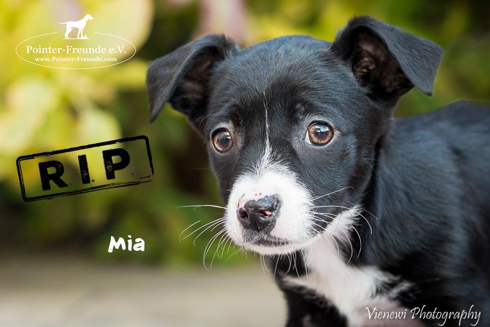MIA, Labrador-Pudel-Mix, geb. 27.12.2016