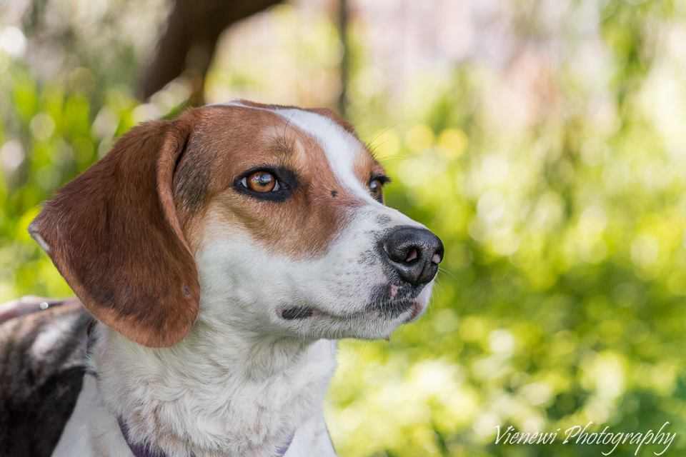 ♥ BABBOO, Pointer-Mix, geb. ca. 2014 ♥