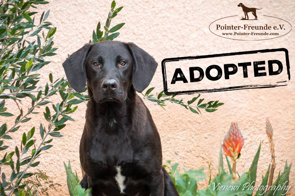 ♥ HARRY, Pointer-Lab-Mix, ca. 8 Monate ♥