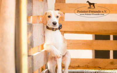 PHYLLIS, Pointer-Lab, geb. ca. 02/2016