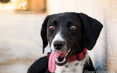 FENJA, Pointer-Mix, 1,5 years