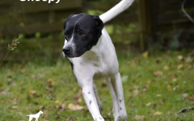SNOOPY, Pointer-Mix, born appr. 04/2016
