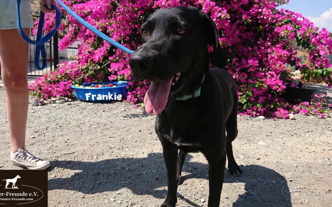 RESERVED: FRANKIE, Pointer-Mix, 6 months