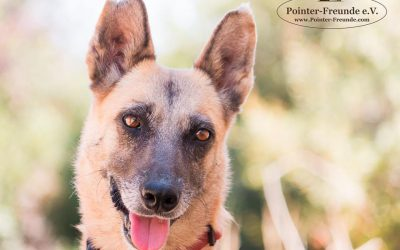 STACEY, Malinois-Mix, 5-6 years