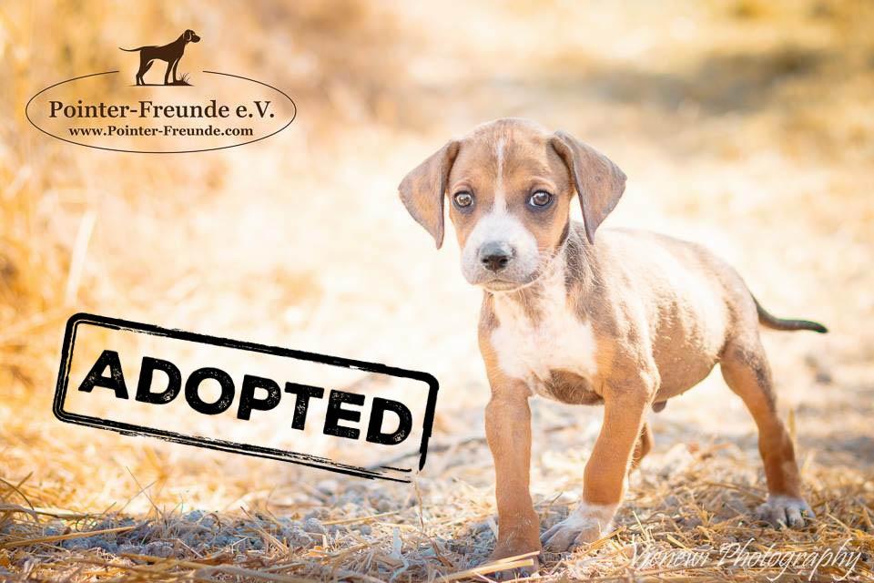 BILBO, Beagle Terrier Mix, apr. 052016 (4 months) | Pointer