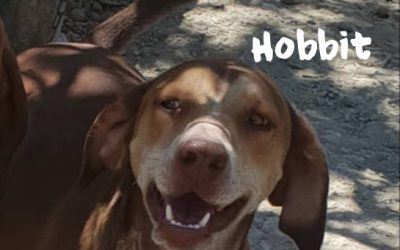 HOBBIT, Jura-Segugio Italiano-Mix, born 05/2016