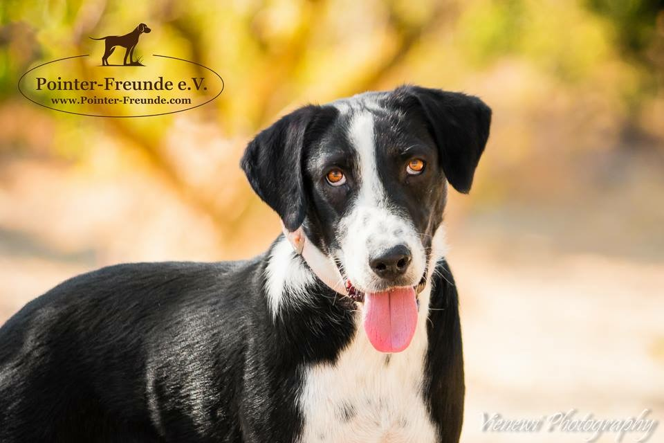 Ozzy, Border-Collie/Pointer, geb. ca. 05/2015