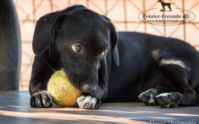 BARBIE, Labrador-Pointer, geb. ca. 02/2016