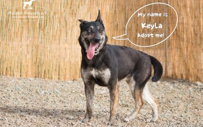 KEYLA, Shepherd-Husky-Mix, born appr. 05/2015