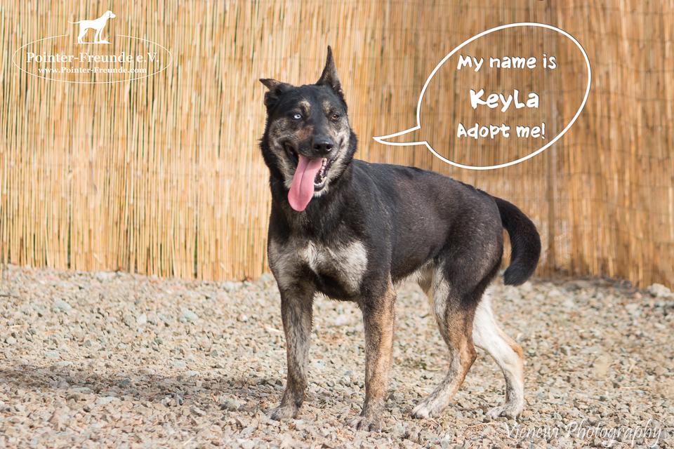 KEYLA, Schäferhund-Husky-Mix, geb. ca. 05/2015