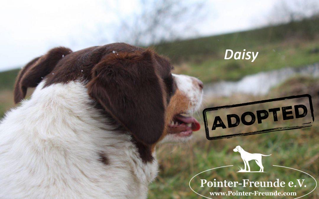 Daisy, Pointer-Jura-Mix, born 2013