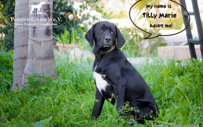 TILLY MARIE, Pointer-Mix, geb. 09/2016