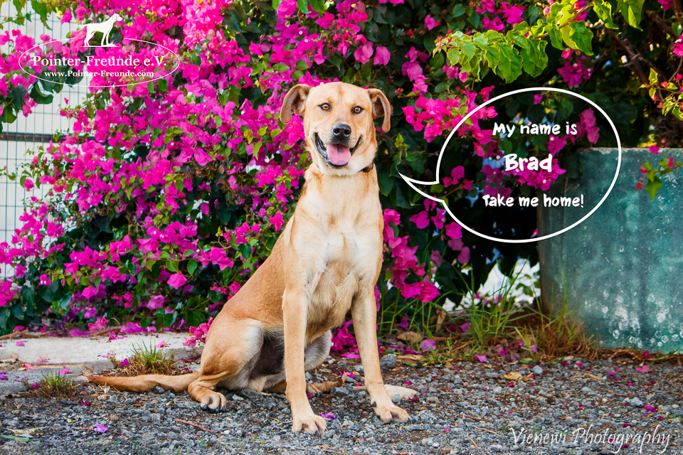 BRAD, Pointer-Sharpei-Mix, geb. ca. 09/2016
