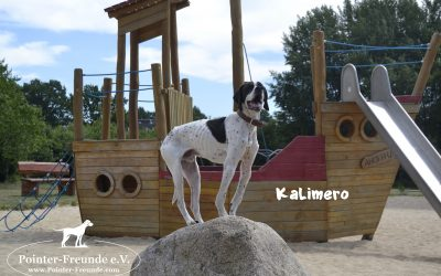 Kalimero, English Pointer, born appr. 2014
