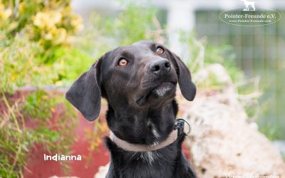 INDIANNA, Pointer-Mix, geb. 10/2016