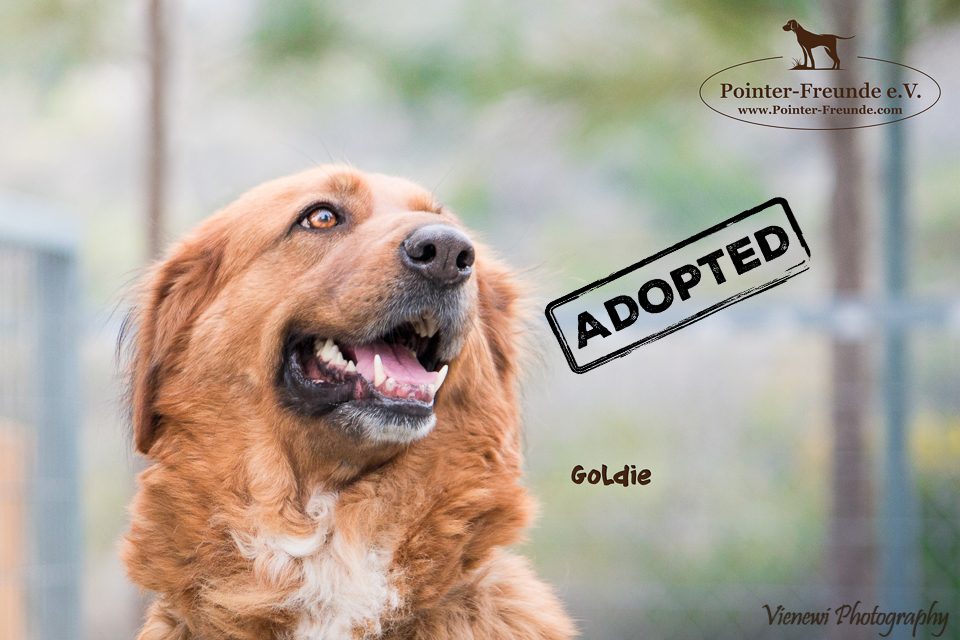 GOLDIE, Golden Retriever-Mix, born appr. 2012