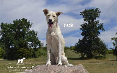 FACE, Husky-Akita, born 03/2016