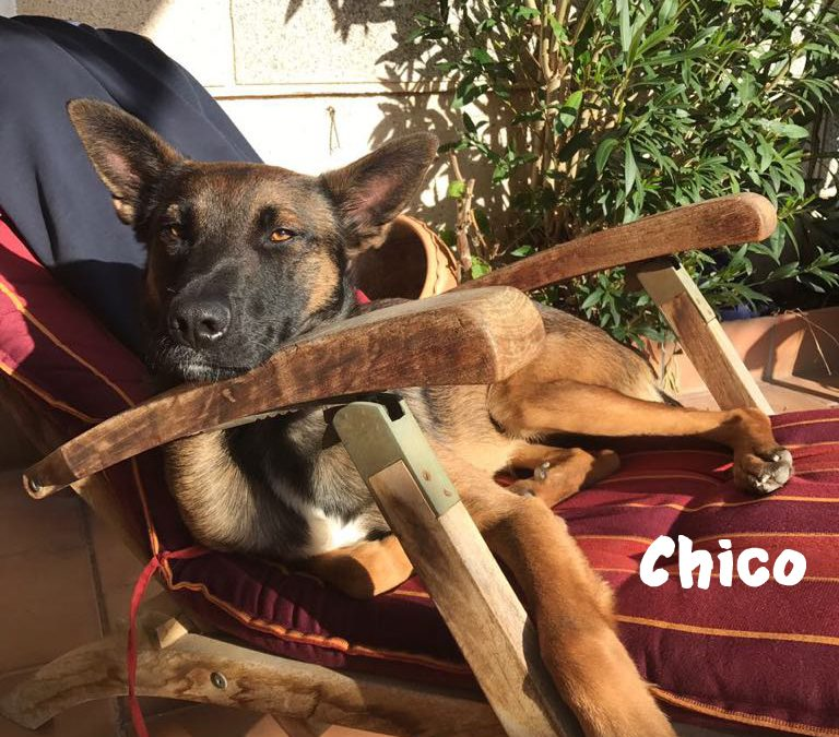 CHICO, Malinois-Mix, geb. ca. 2016