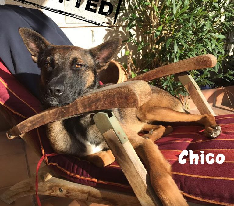 (Deutsch) CHICO, Malinois-Mix, geb. ca. 2016