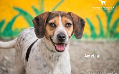 AMELIA, Beagle-Jura-Mix, born appr. 2014