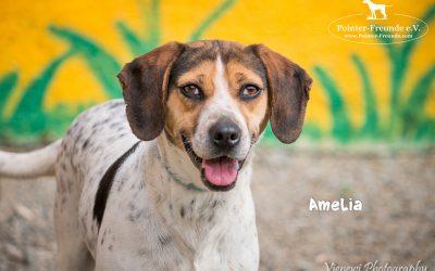 AMELIA, Beagle-Jura-Mix, geb. ca. 2014