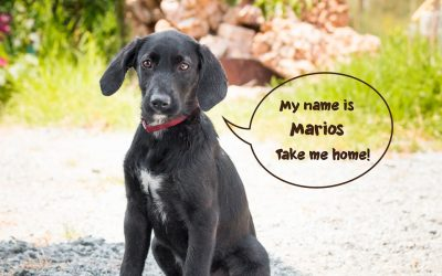 MARIOS, Pointer-Terrier, geb. 04/2018