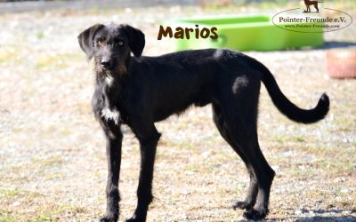 MARIOS, Pointer-Terrier-Mix, geb. 04/2018