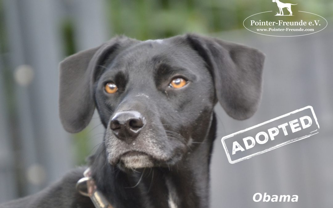 OBAMA, Pointer-Labrador-Mix, geb. 10 / 2016