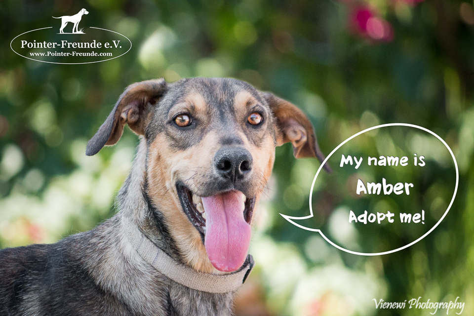 AMBER, German Sheperd-Mix, born appr. 2015/2016