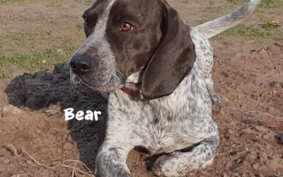BEAR, Pointer-Mix, geb. 03/2018