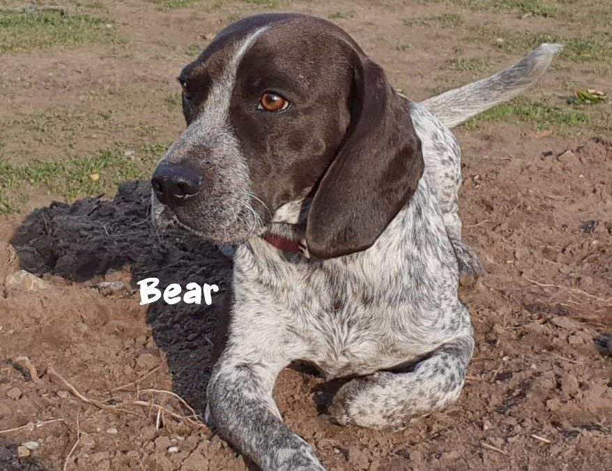 BEAR, Pointer-Mix, born 03/2018