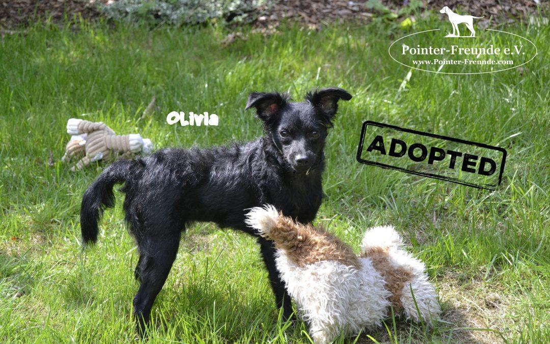 OLIVIA, Chihuahua-Papillon, born appr. 01/18