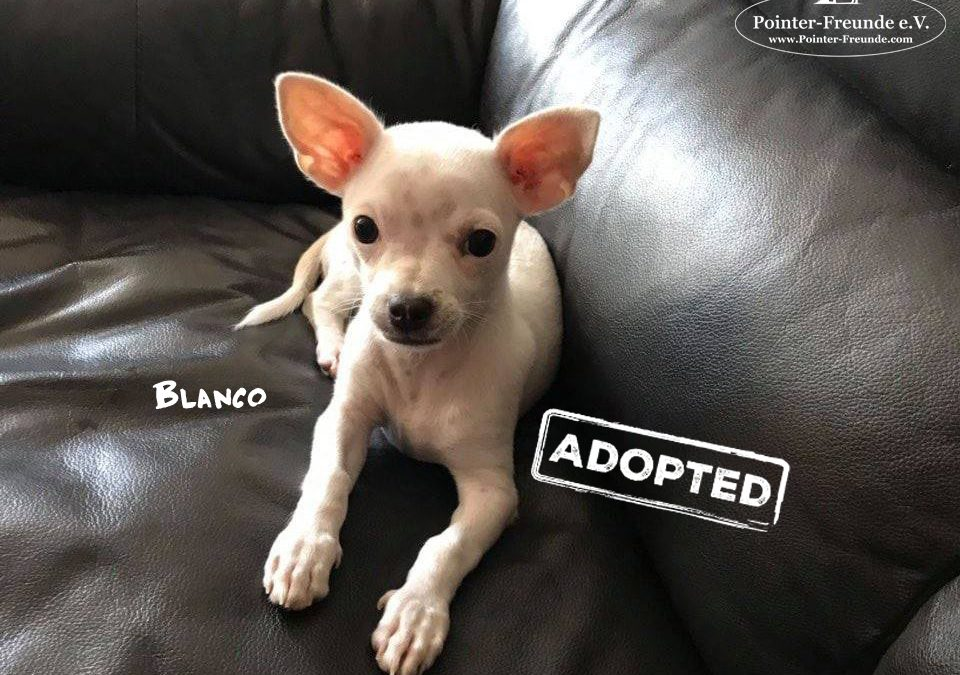 (Deutsch) BLANCO, Chihuahua, geb. 04/2018