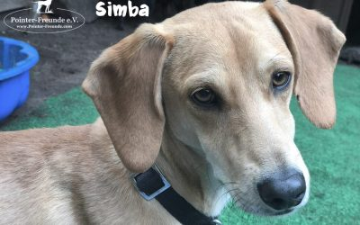 SIMBA, Pointer-Mix, geb. 06/2018