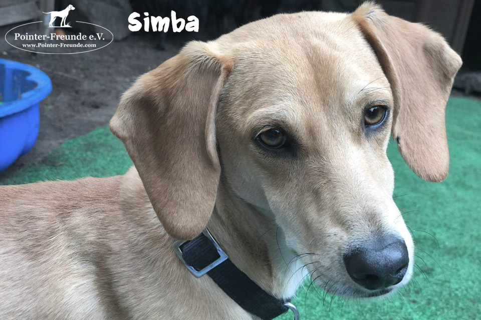 RESERVED: SIMBA, Pointer-Mix, born 06/2018