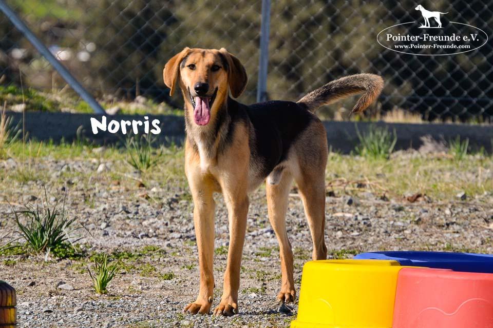 NORRIS, Schäferhund-Mix, geb. 03/2018