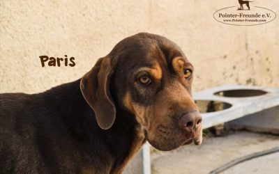 PARIS, Pointer-Shar-Pei-Mix, geb. 2017