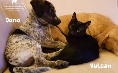 JUNO & VULCAN – Pointer-Mix (born 10/18) & DSH (born 08/18)
