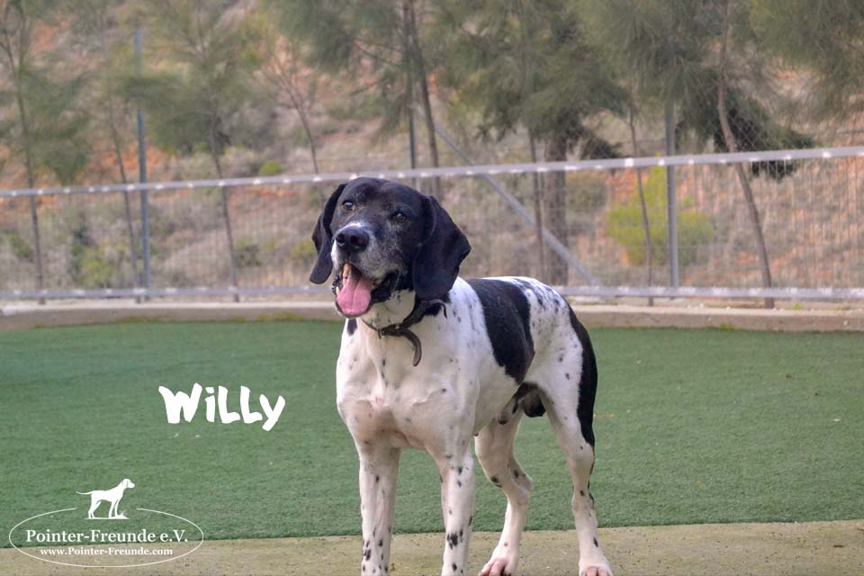 WILLY, English Pointer, geb. ca. 2014