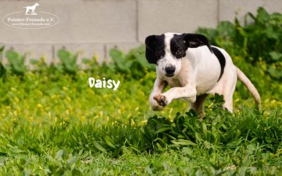 DAISY, Pointer-Mix, geb. 10/2018